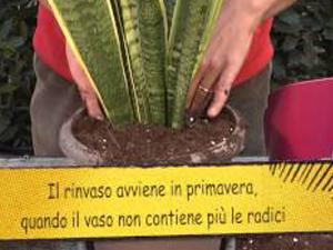 Come coltivare la Sanseveria. Lezioni di giardinaggio Compo