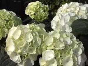 Come coltivare le ortensie. Lezioni di giardinaggio Compo