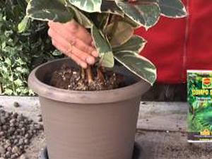 Come coltivare il Ficus. Lezioni di giardinaggio Compo