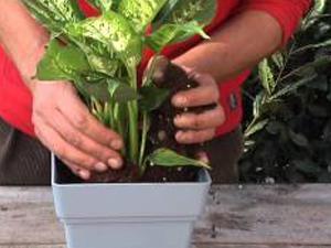 Come coltivare la Dieffenbachia. Lezioni di giardinaggio Compo