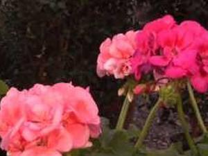 Come coltivare i gerani. Lezioni di giardinaggio Compo