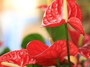 Come coltivare l'Anthurium. Lezioni di giardinaggio Compo