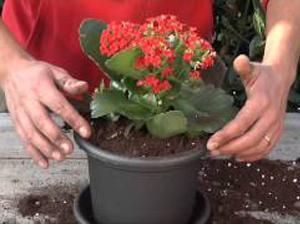 Come coltivare la Kalanchoe. Lezioni di giardinaggio Compo
