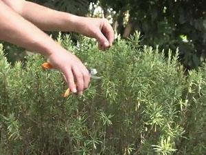 Quando potare le piante aromatiche