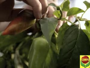 Come coltivare il peperone, guida e consigli