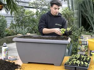Come coltivare la melanzana: i consigli