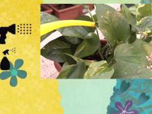 Come coltivare il Philodendron. Lezioni di giardinaggio Compo