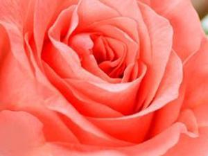 Come coltivare le rose. Lezioni di giardinaggio Compo