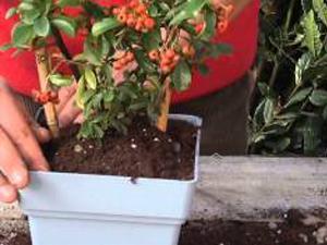 Come coltivare la Pyracantha. Lezioni di giardinaggio Compo