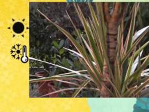 Come coltivare la Dracaena. Lezioni di giardinaggio Compo