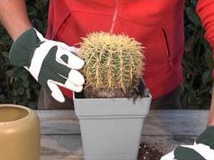 Come coltivare l'Echinocactus. Lezioni di giardinaggio Compo