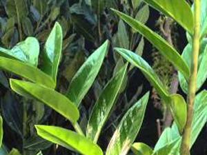 Come coltivare la Zamioculcas. Lezioni di giardinaggio Compo