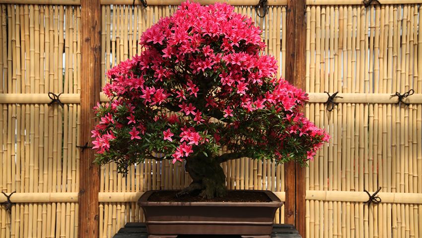 25 anni di bonsai