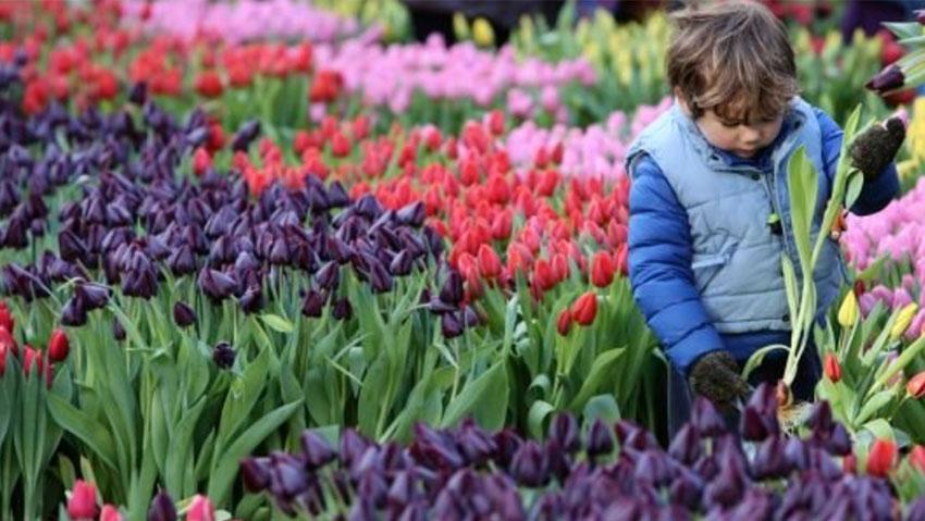 Giornata nazionale dei tulipani in Olanda