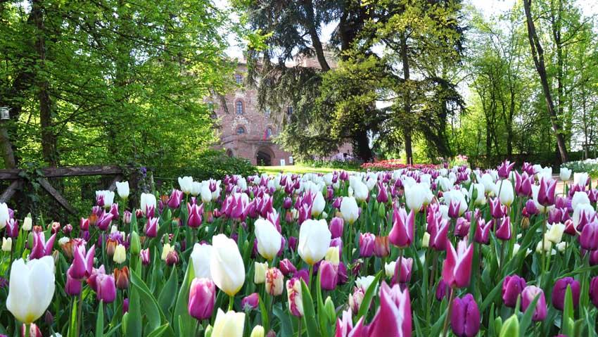 Messer Tulipano, bulbi protagonisti