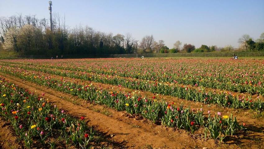 Alle porte di Milano fioriscono 250mila tulipani