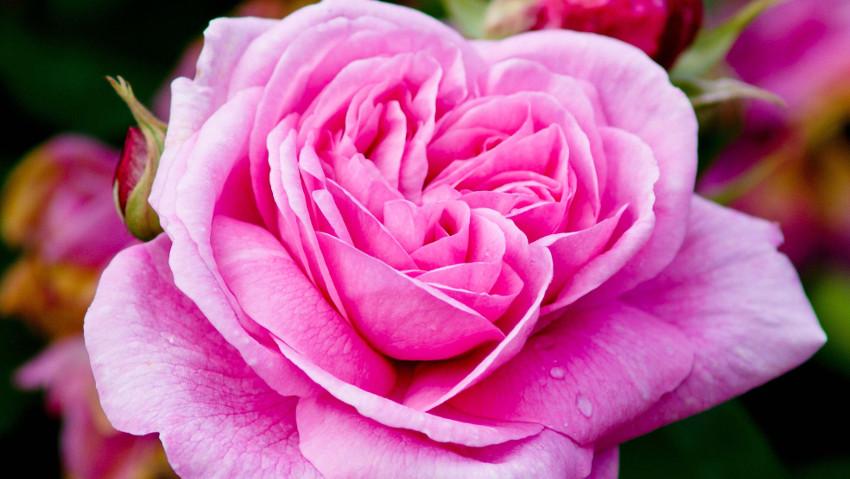 Tutto quello che c'è da sapere sulle rose