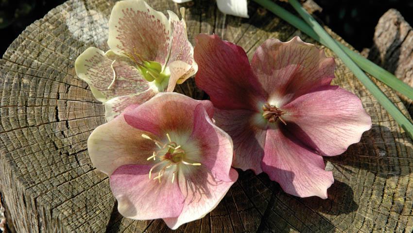 Fioriture invernali, corsi gratuiti nei garden center