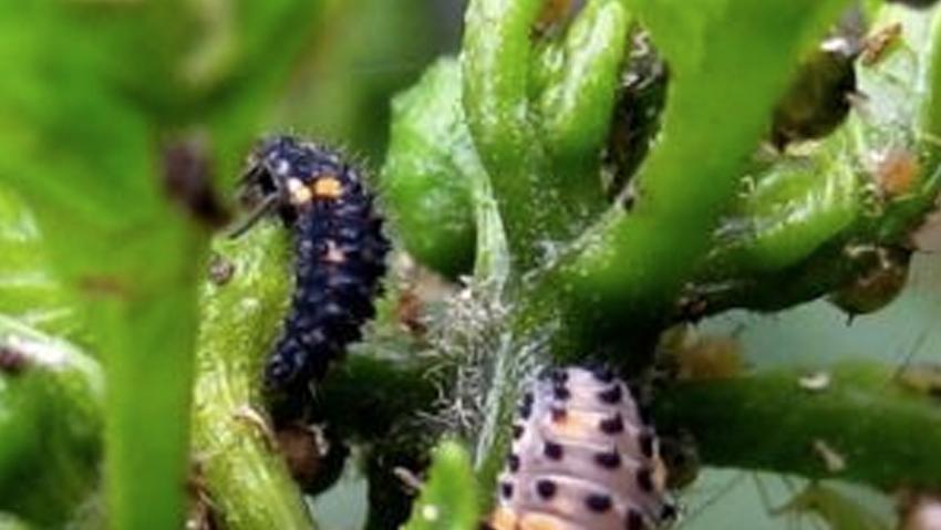 Lotta biologica integrata nel verde ornamentale