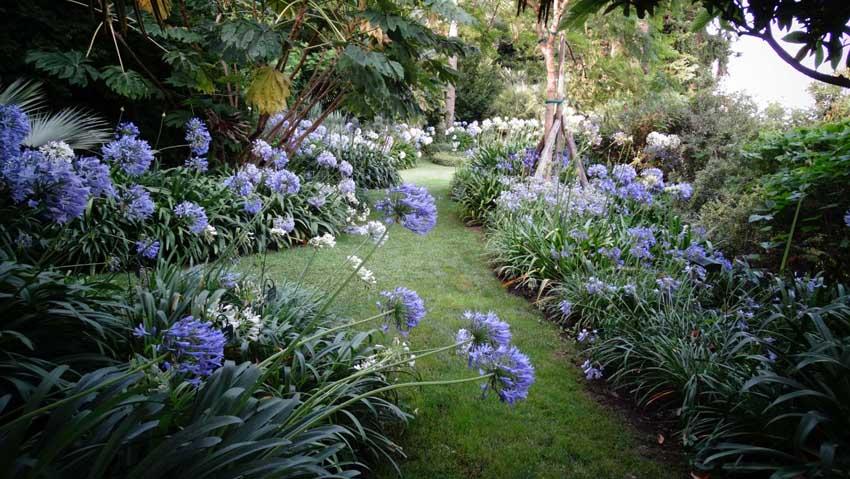 Villa della Pergola, agapanti in fiore