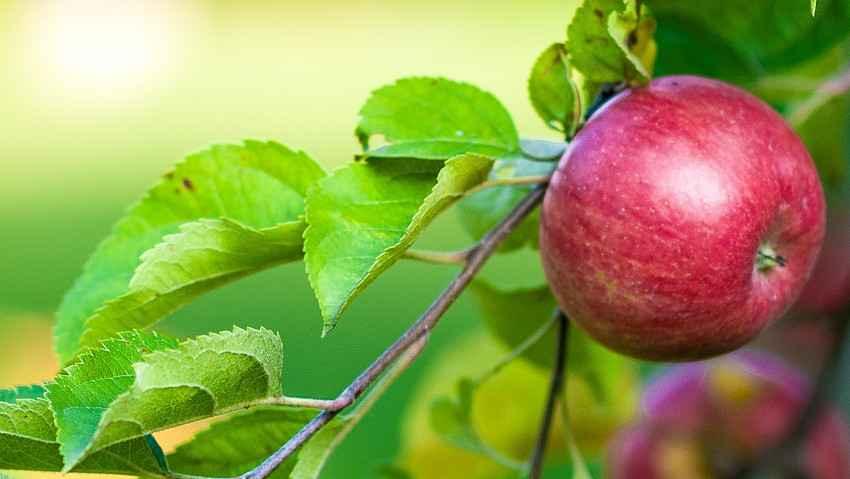 Piante da frutto in mostra, anche antiche e rare