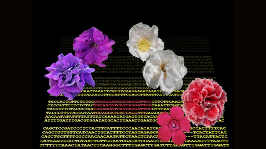 Ecco perché alcuni fiori hanno molti petali