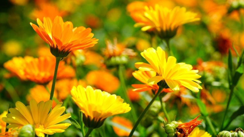 <a href= http://radiogarden.it/piante-che-attirano-le-api-come-coltivare-la-calendula-in-giardino-o-in-vaso/'><u>ASCOLTA IL PODCAST</u></a> <a href='https://www.gardentv.it/piante-che-attirano-api-coltivare-calendula-giardino-vaso-podcast.html'>Piante per le api</a>