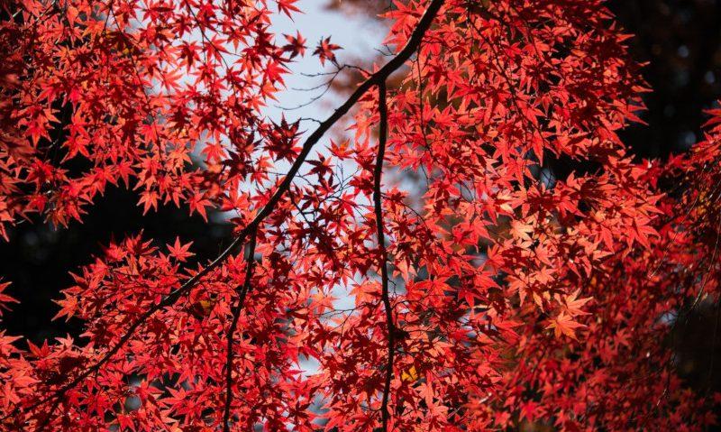 <a href= https://radiogarden.it/lacero-un-albero-per-ogni-giardino/'><u>ASCOLTA IL PODCAST</u></a> <a href='https://www.gardentv.it/consigli-alberi-piantare-giardino-acero.html''>Un acero per ogni giardino</a>