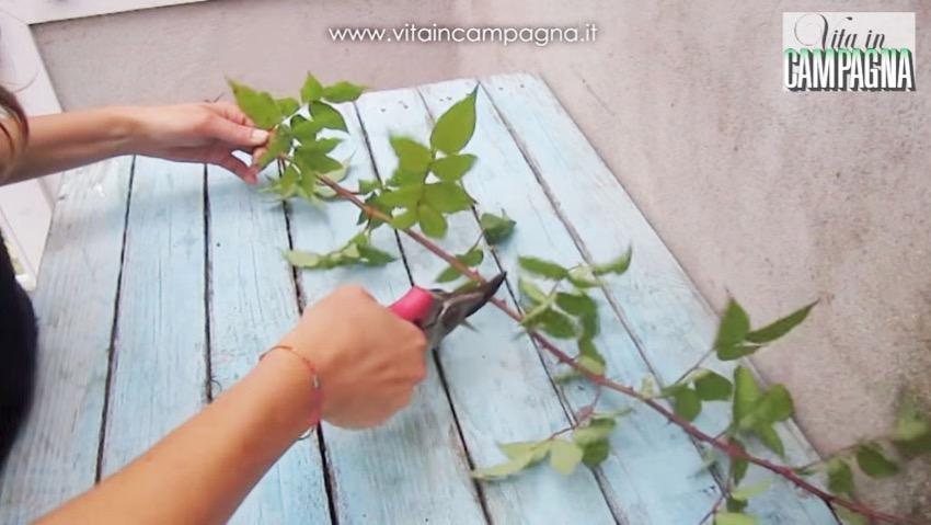 Moltiplicazione rose: talea, propaggine e margotta