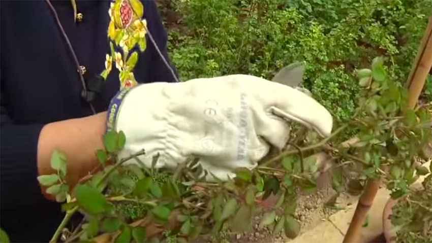 Rose rampicanti: coltivazione e potatura