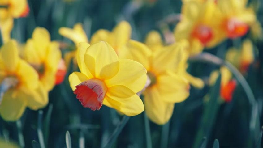 Come nasce lo spettacolo dei tulipani