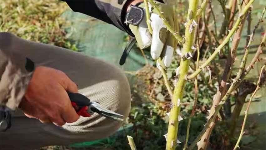 Come potare le rose a cespuglio: il tutorial
