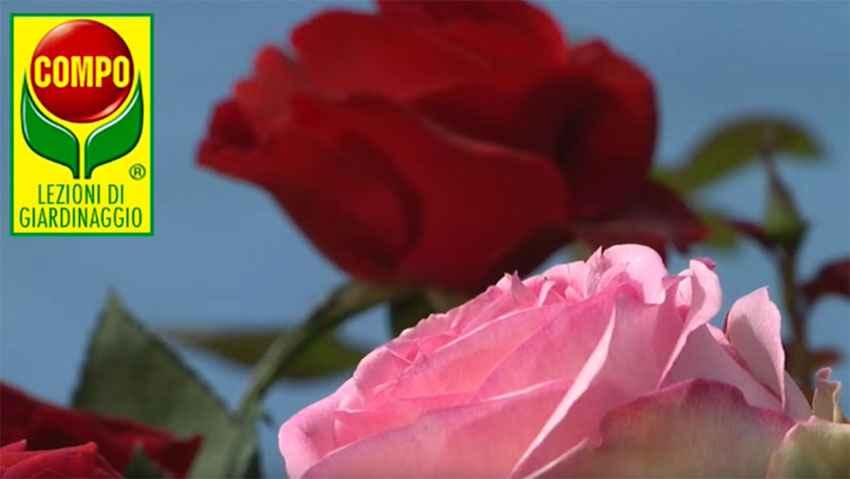 Come coltivare le rose: i consigli di Compo