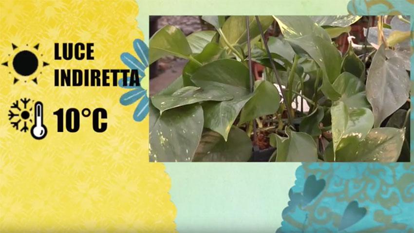 Come coltivare il Philodendron: i consigli