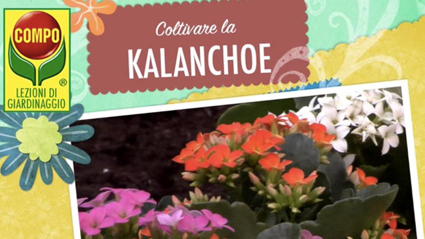 Come coltivare la Kalanchoe: i consigli