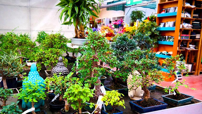 Primula Gialla Garden Center